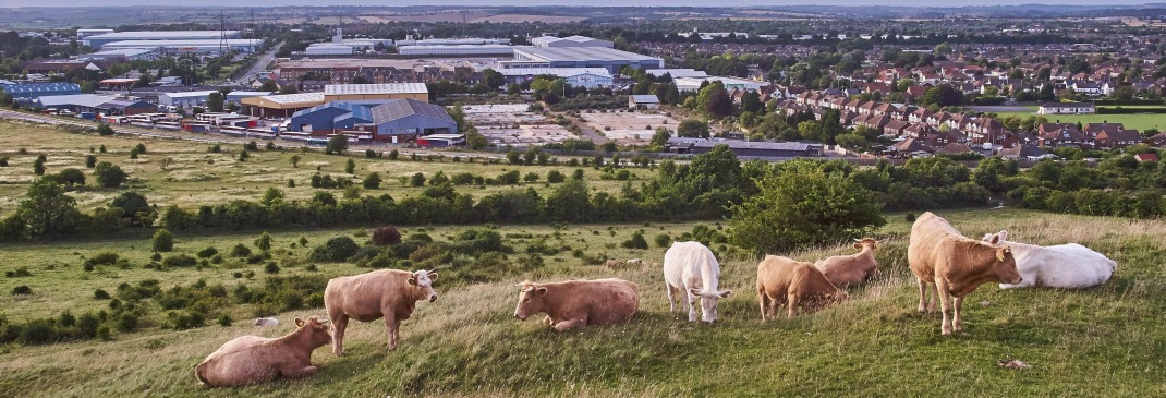 Luton countryside cows and fields