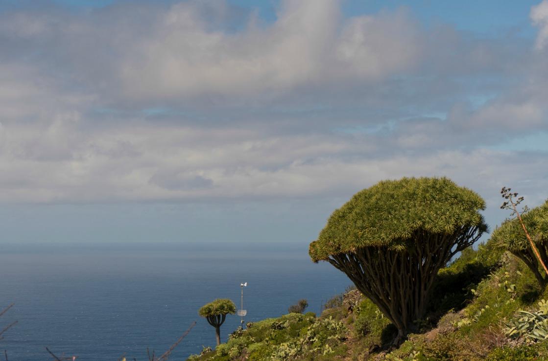 Der Drachenbaum über der Küste von La Palma