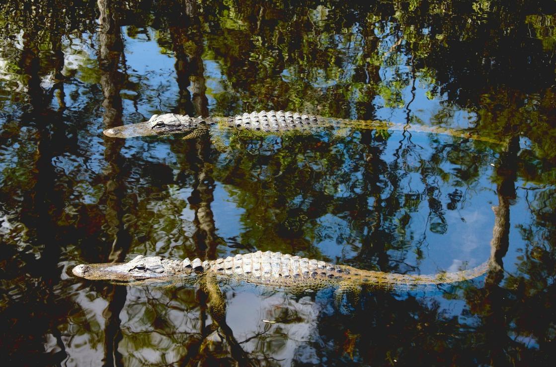 Alligatoren in Miamis Gator Park