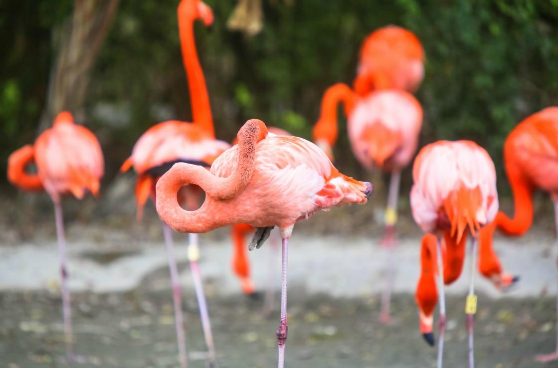 Flamingos in Miamis Zoo