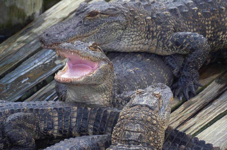 Gatorpark in den Everglades bei Orlando, Florida