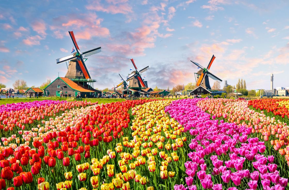 windmill and tulip fields in the netherlands