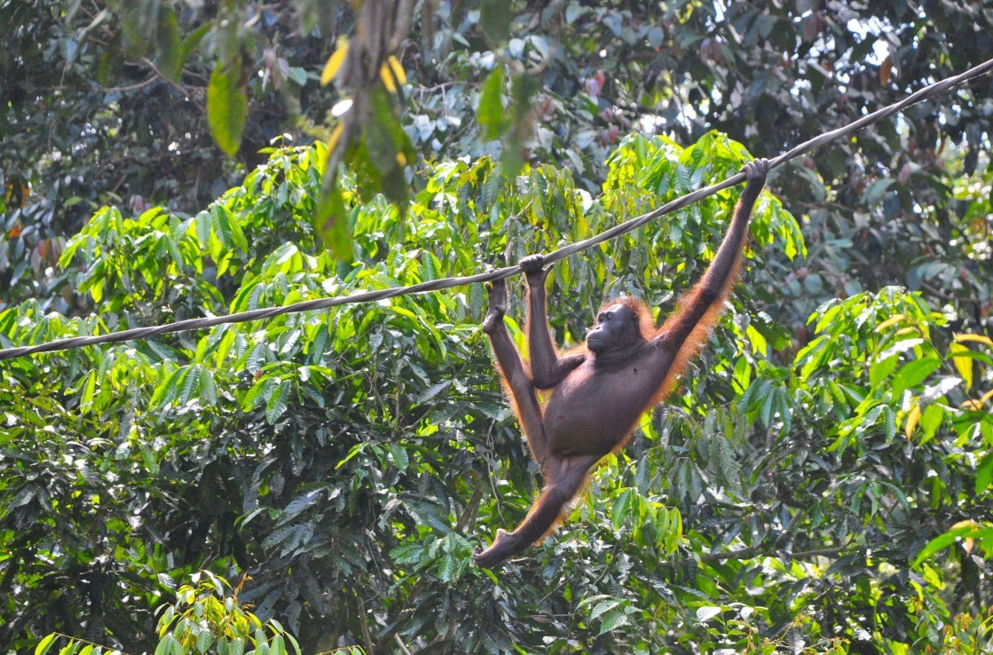 Orangutan hanging in a tree