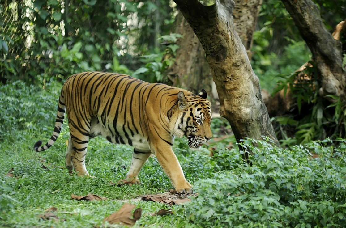 Malayan Tiger in the zoo