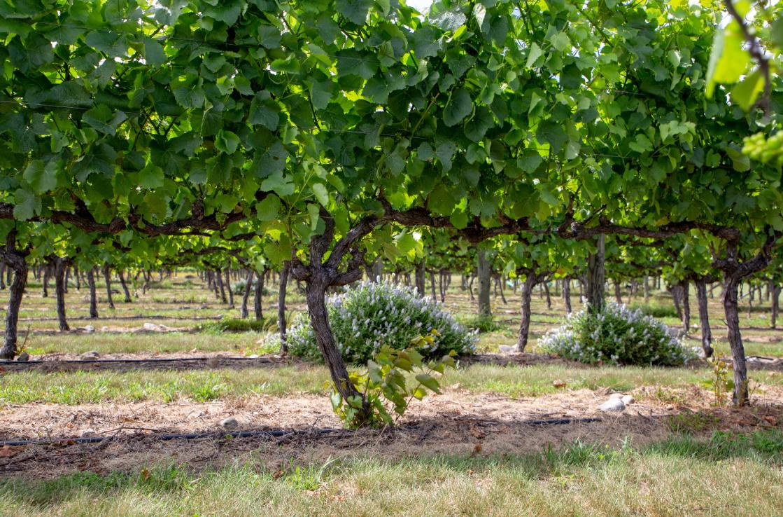 Chartham vineyard